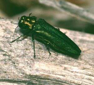 An invasive species of tree-killing insect continues to spread across upstate New York